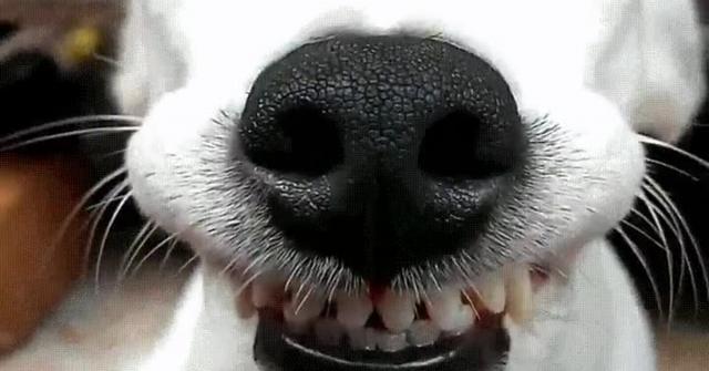 cane che ride