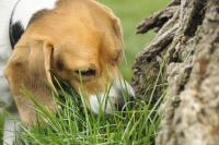 Foto Il mio cane mangia l'erba, perchè?