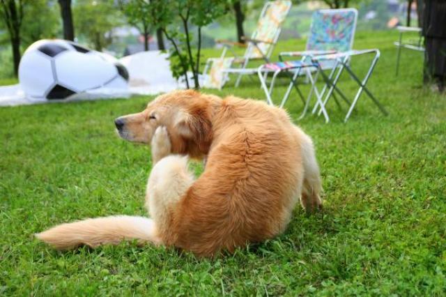 Foto Le infezioni fungine (micosi) della pelle nel Cane