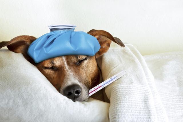 Foto Come si misura la febbre al Cane?