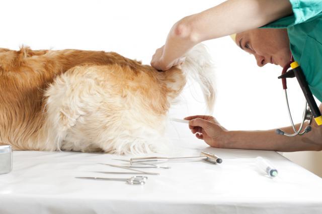 misurare temperatura al cane