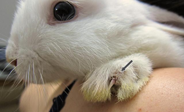 Foto Parassiti esterni del coniglio