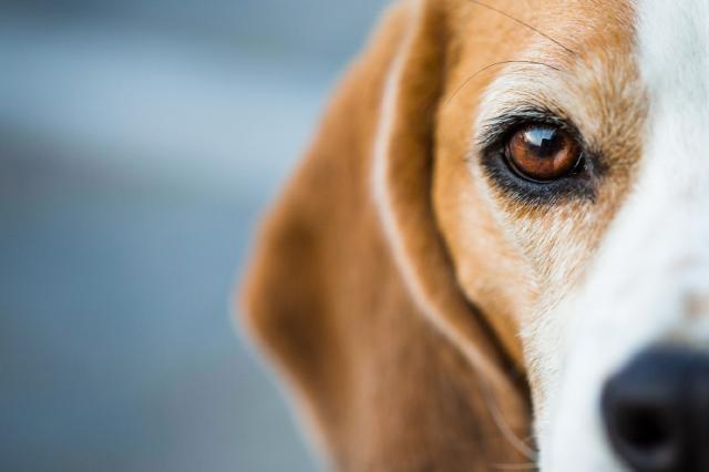 Foto Problemi alla tiroide nel Cane