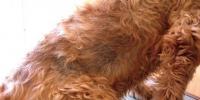 cane problemi alla tiroide