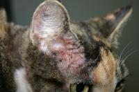 Foto Dermatite atopica (atopia) nel Gatto