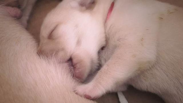 allattamento cuccioli cane