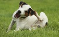 cane prurito da pulci
