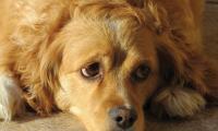 Foto Cosa fare in caso di diarrea nei Cani?