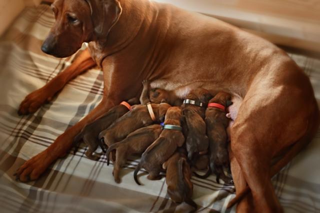 cane allatta cuccioli
