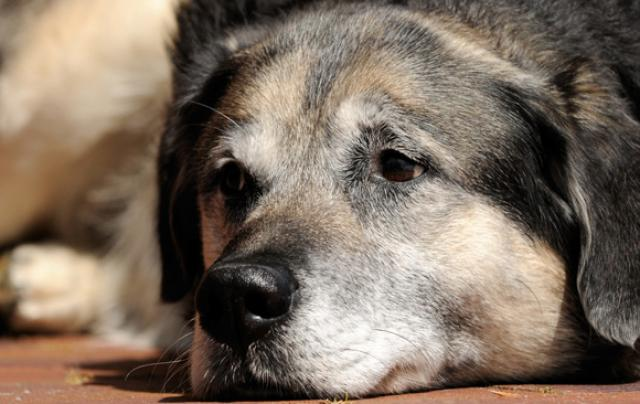 Foto Problemi respiratori nel Cane