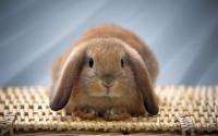 Foto Il Coniglio non fa cacca: cosa fare?