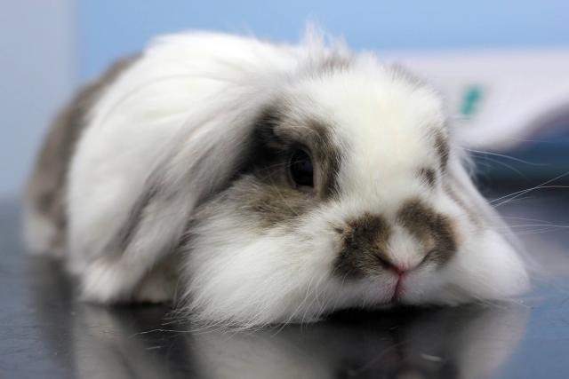 Foto Il coniglio può mangiare cavolfiore?