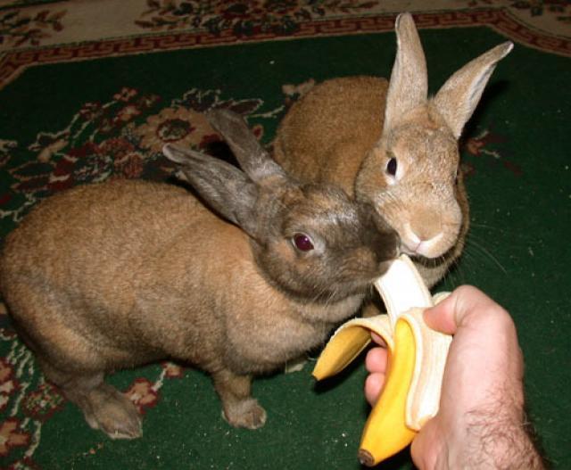 Foto Il Coniglio può mangiare la banana?