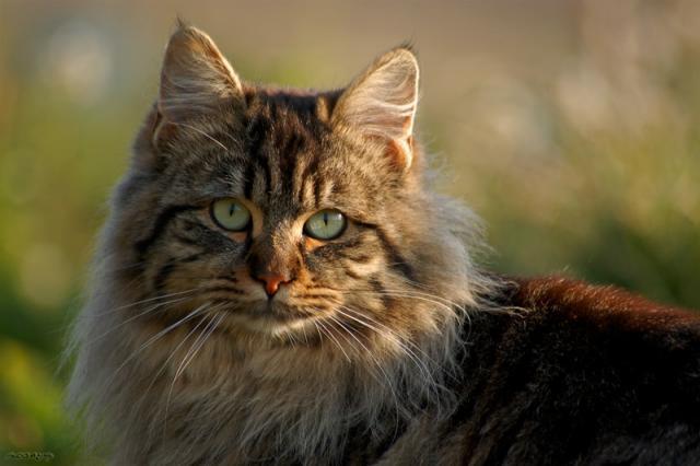 Foto Linfoma felino, il cancro più comune nel Gatto