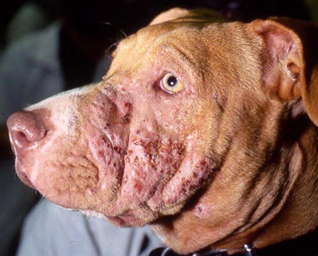 Foto Piodermite Cane: sintomi, cause e trattamento