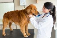 Foto Gastroenterite nel Cane: sintomi, cause e trattamento