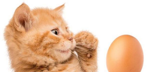 gatto mangia le uova