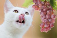 Foto Il Gatto può mangiare uva e uvetta?