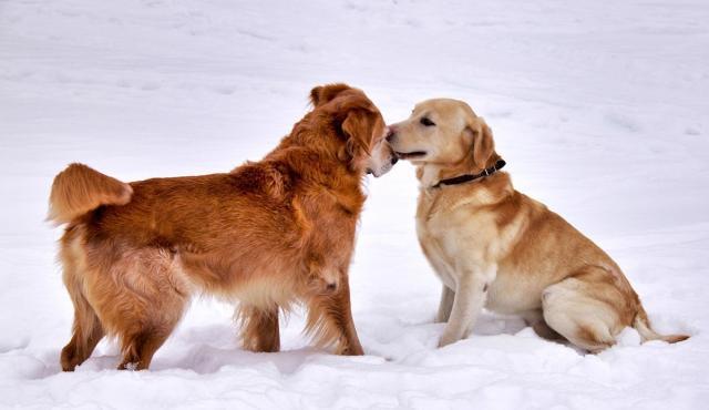 cane in coppia