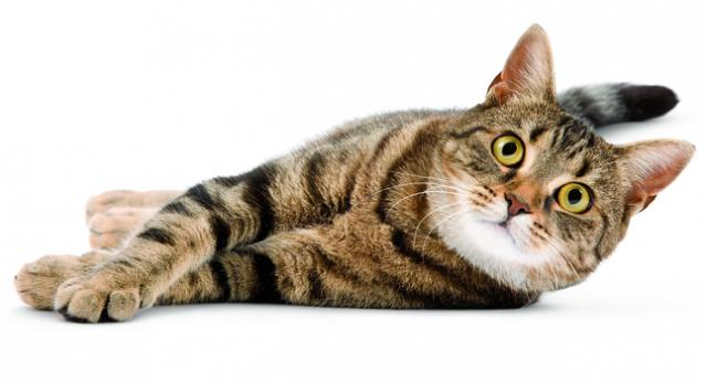 Foto gatto a dieta
