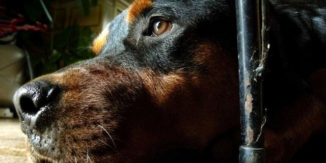 cane stitico