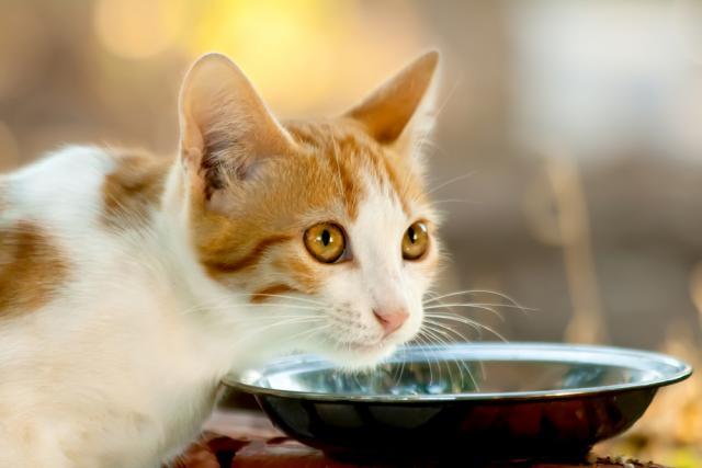 gatto diabetico beve molto