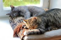Foto I Gatti sognano quando dormono?