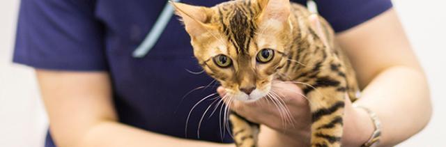 gatto pulizia dentale
