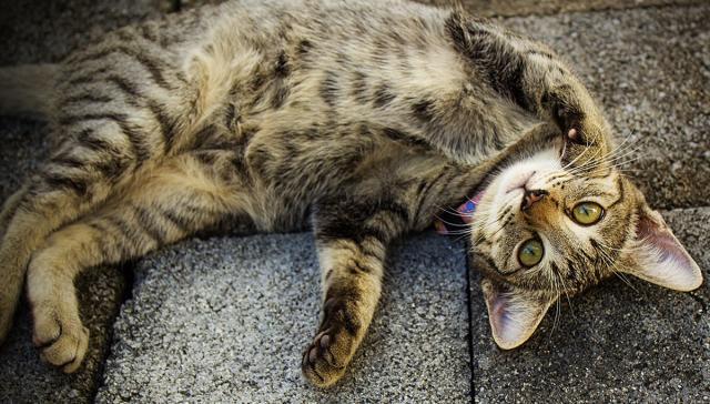 gatto maschio calore