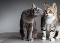 Foto I Gatti maschi vanno in calore?