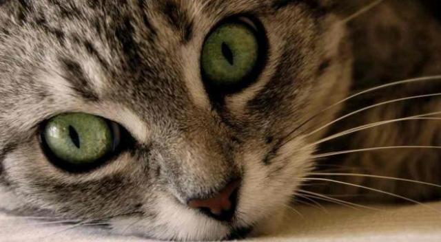 Foto Ansia e stress nei Gatti: cause e trattamento