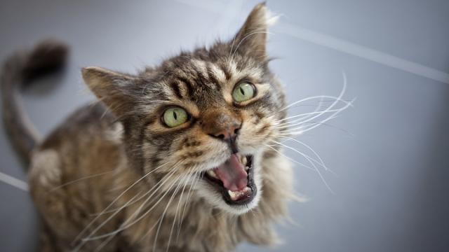 gatto soffre di stress