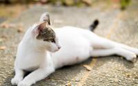 gravidanza isterica gatto