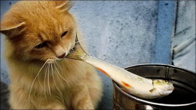 gatto mangia pesce