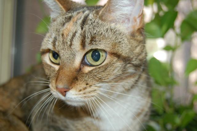 Foto Sintomi di ipertiroidismo nel Gatto