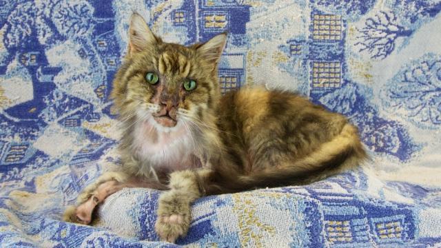 gatto ipertiroidismo