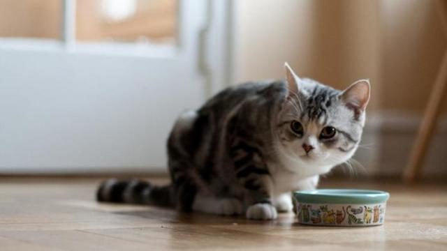 Foto Quanto mangia un Gatto?