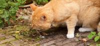 gatto vomita