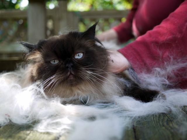 Il Gatto Perde Molto Pelo Ecco Cosa Fare Mondopetsit