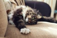Foto Il Gatto perde molto pelo? Ecco cosa fare