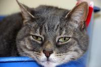 Foto Come sapere se il Gatto è disidratato?