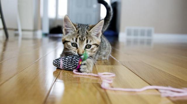 gatto iperattivo