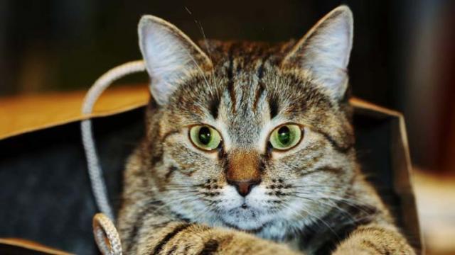 Foto Cosa fare se il Gatto ha sangue nelle feci?