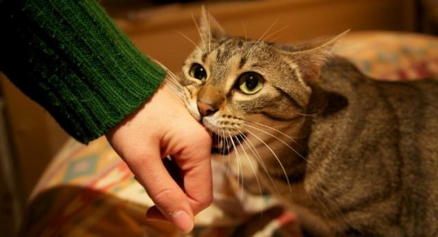 gatto morde la mano