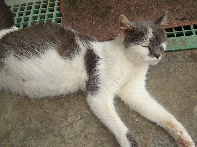 Foto Il gatto ha lo stomaco gonfio: cause e cure