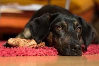 Foto Muco feci del Cane: cause e trattamento