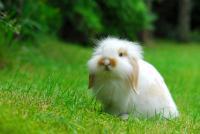 Foto Il Coniglio ha lo stomaco gonfio: cause e trattamento