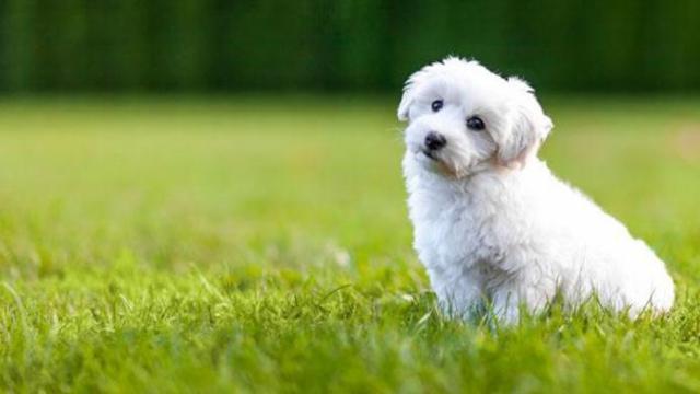 10 Razze Di Cani Che Non Perdono Pelo Mondopetsit