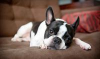 cane Boston Terrier