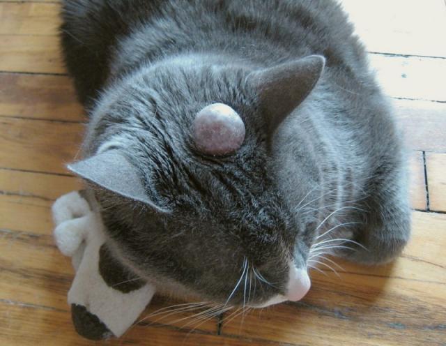 Foto Cisti nel Gatto: cause e trattamento
